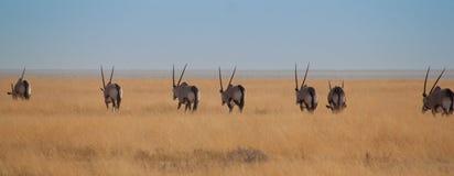 羚羊属在纳米比亚 图库摄影