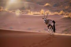 羚羊属在纳米比亚 免版税库存照片