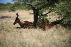 羚羊属在纳米比亚 库存图片
