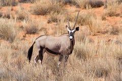 羚羊属在草原纳米比亚 图库摄影