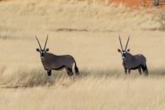 2羚羊属在草原 免版税库存照片