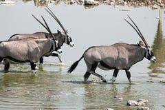 羚羊属在Etosha 免版税库存图片