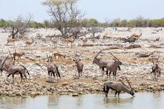 羚羊属大羚羊waterhole Etosha,纳米比亚 免版税图库摄影
