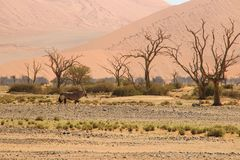 羚羊属或羚羊与长的垫铁在纳米布沙漠,纳米比亚 免版税图库摄影