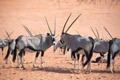 羚羊属牧群与长的垫铁的在纳米比亚沙漠背景特写镜头,徒步旅行队橙色沙子在纳米比亚,非洲南部 库存照片