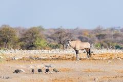 羚羊属站立在庄严埃托沙国家公园的五颜六色的风景的,最佳的旅行目的地在纳米比亚,非洲 库存图片