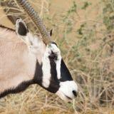 羚羊属羚羊属& x28; Gemsbok& x29;在草原 库存图片