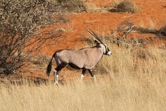 羚羊属羚羊属& x28; Gemsbok& x29;在草原 库存照片