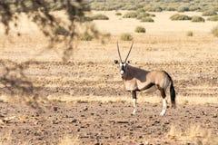 羚羊属羚羊属& x28; Gemsbok& x29;在草原 免版税库存图片