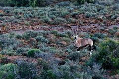 羚羊属-在领域的大羚羊-野生生物公园-西部的Beaufort 库存图片