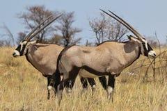 羚羊属-大羚羊从非洲的野生生物背景-对一切的双方 免版税库存照片