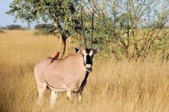 羚羊属 库存图片