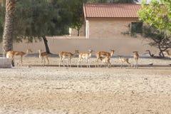 羚羊排队 免版税库存照片
