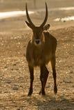 羚羊日落waterbuck 免版税库存图片