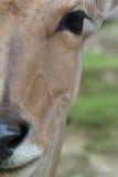 羚羊棕色纵向 库存照片