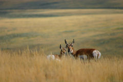 羚羊母鹿小鹿草 库存图片