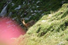 羚羊比利牛斯山脉 库存图片