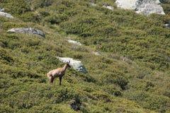 羚羊比利牛斯山脉 免版税库存图片