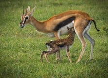 羚羊汤普森和她马塞语的玛拉,肯尼亚新出生的婴孩 免版税库存照片