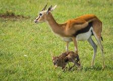 羚羊汤普森和她马塞语的玛拉,肯尼亚新出生的婴孩 免版税库存图片
