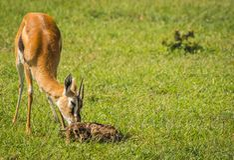 羚羊汤普森和她马塞语的玛拉,肯尼亚新出生的婴孩 库存图片