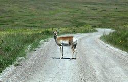 羚羊漫步富有的蒙大拿 免版税库存图片