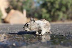 羚羊灰鼠在约书亚树国家公园 免版税库存照片