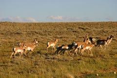 羚羊牧群 库存图片