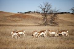 羚羊牧群pronghorn 库存照片
