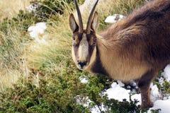 羚羊画象 库存图片