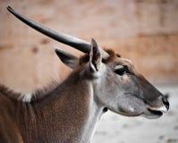 羚羊的特写 免版税图库摄影