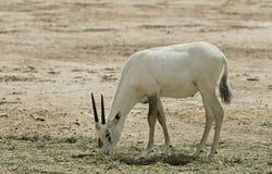 羚羊的婴孩,在自然保护,以色列的阿拉伯羚羊属 库存图片