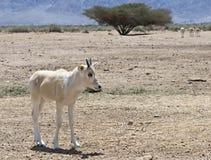 羚羊的婴孩,在自然保护,以色列的阿拉伯羚羊属 图库摄影