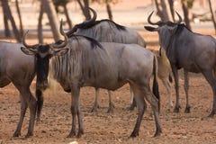 羚羊角马 免版税库存图片