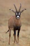 羚羊软羊皮的年轻人 库存图片