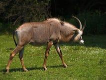 羚羊软羊皮 图库摄影