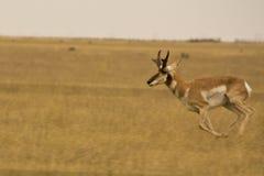 羚羊运行中 图库摄影