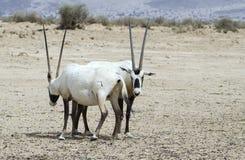羚羊阿拉伯人羚羊属 免版税库存图片