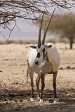 羚羊阿拉伯人羚羊属 库存图片