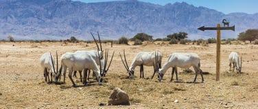 羚羊阿拉伯白色羚羊属羚羊属dammah 免版税库存照片
