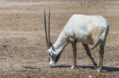 羚羊阿拉伯羚羊属羚羊属dammah 免版税库存图片