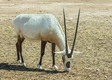 羚羊阿拉伯羚羊属-羚羊属dammah 免版税库存照片