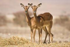 羚羊飞羚 库存图片