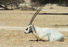 羚羊,在自然保护的阿拉伯羚羊属羚羊属leucoryx在埃拉特,以色列附近 库存照片