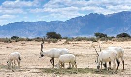 羚羊,在自然保护,以色列的阿拉伯羚羊属 库存图片