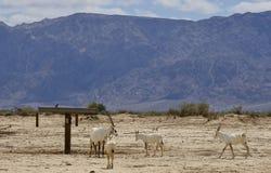 羚羊,阿拉伯羚羊属牧群  免版税图库摄影