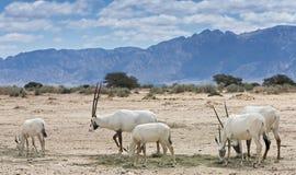 羚羊,阿拉伯羚羊属牧群  免版税库存照片