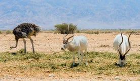 羚羊,阿拉伯羚羊属(羚羊属leucoryx)在沙漠在埃拉特,以色列附近的自然保护 库存图片
