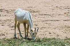 羚羊,阿拉伯羚羊属(羚羊属leucoryx)的婴孩 库存照片