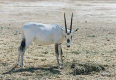 羚羊,阿拉伯羚羊属(羚羊属leucoryx) 免版税库存图片